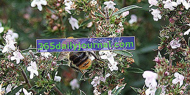 Slano (Satureja spp.) S planina ili vrtova