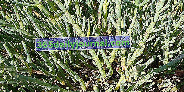 Glasswort (Salicornia europaea), fasola morska lub fałszywe algi