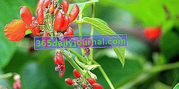 Španělská fazole (Phaseolus coccineus), s červenými květy