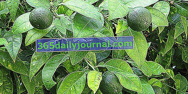 Limonka (Citrus aurantiifolia) lub limonka