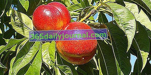 Nektarinka a nektarinka (Prunus persica var. Nucipersica), druh broskve