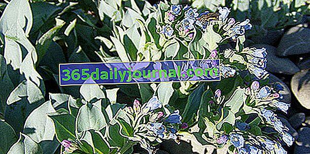 Морска мертензия (Mertensia maritima), растителна стрида
