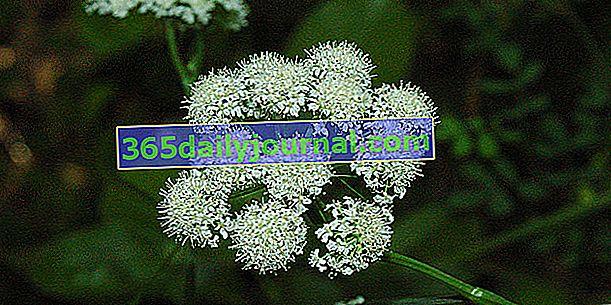 Mielony orzech (Bunium bulbocastanum) lub mielony kasztan