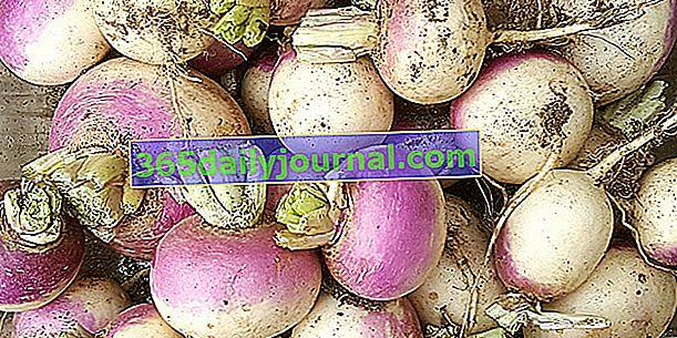 Rzepa (Brassica rapa) do jedzenia młoda i delikatna