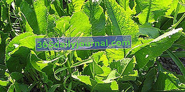 Хрін (Armoracia rusticana), замінник гірчиці