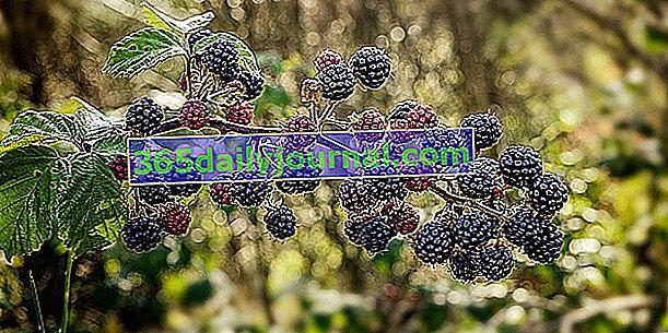 Ostružiny obyčajného (Rubus fruticosus) na výrobu džemov