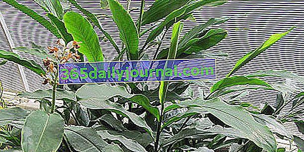 Kardamom (Elettaria cardamomum), glavni indijski aromatik