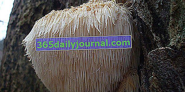 Hedgehog hydne, grzyb o oryginalnej teksturze