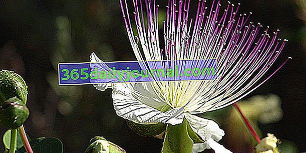 Kapre (Capparis spinosa), brsti brsti