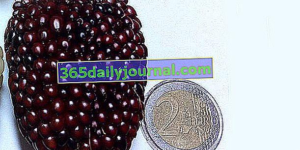 Ягодова царевица (Zea mays 'Red Strawberry'), червени ядки за пуканки