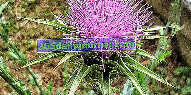 Розторопша (Silybum marianum) або розторопша