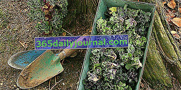 Зелеви кълнове (Brassica