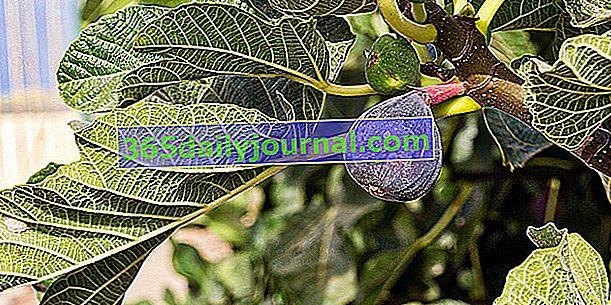 Fíkovník (Ficus carica), pro fíky s vysokou nutriční hodnotou