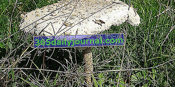 Кулемель, популярный лепиот и восхитительный гриб