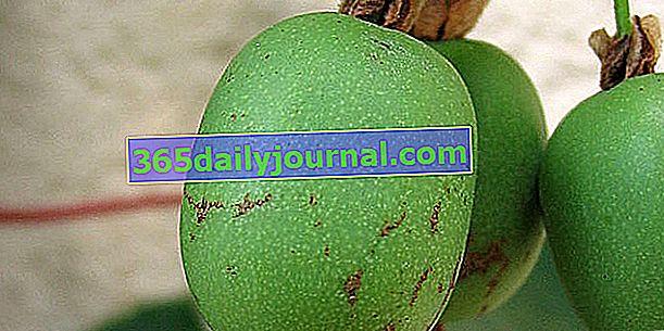 Kiwai (Actinidia arguta), mini kiwi lub kiwi syberyjskie