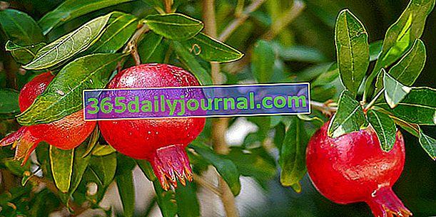 Granat (Punica granatum), źródło syropu z granatu