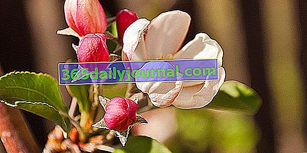 Kwitnąca jabłoń (Malus floribunda) lub jabłoń japońska