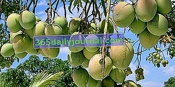 Drzewo mango (Mangifera indica), egzotyczny owoc par excellence