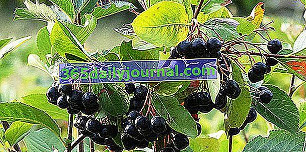 Aronia (Aronia melanocarpa), olağanüstü erdemlere sahip bir meyve