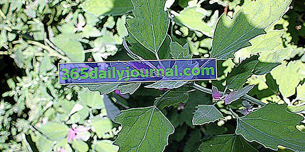 Vrtna bušilica (Atriplex hortensis), lažni špinat