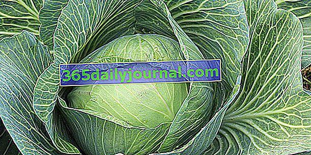 Repollo (Brassica oleracea var. Capitata y var. Sabauda), repollo y col de Saboya