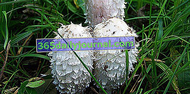 Coprinus włochaty, grzyb z wełnistymi lokami