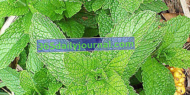 Мента (Mentha spicata), освежаващо ароматно растение