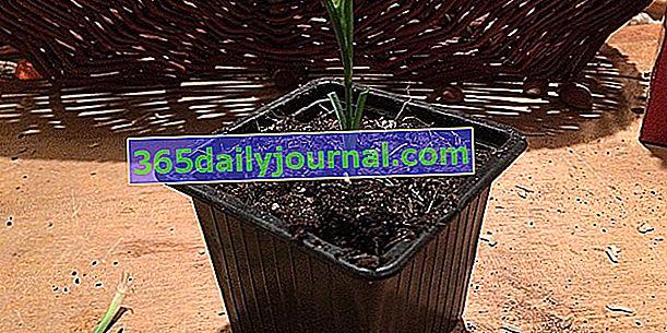 Cortar claveles: ¿cuándo y cómo?