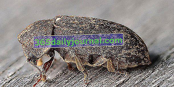 Дерев'яний черв'як, жук, що нудьгує по дереву