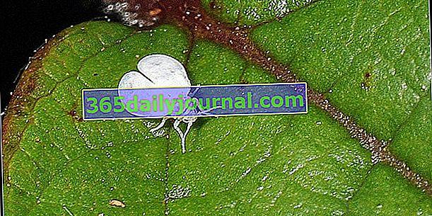 La mosca blanca o mosca blanca: ¿que tratamiento?