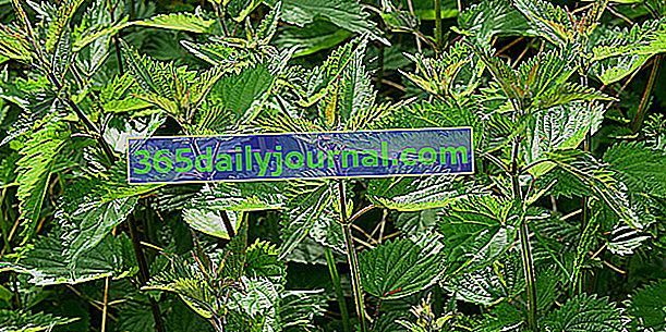 Obornik roślinny: bardzo skuteczne naturalne nawozy i repelenty