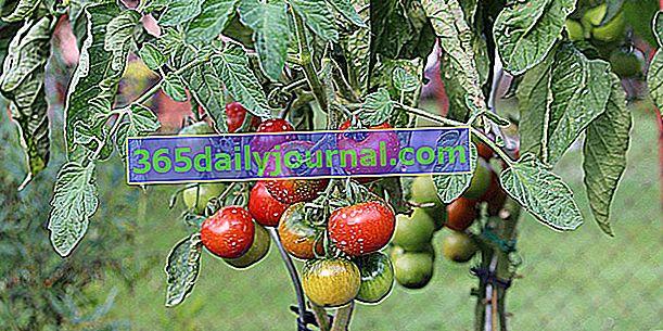 Origen e historia del tomate