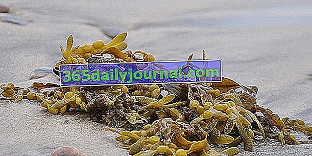 Las algas, fertilizante básico