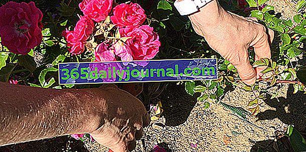 Cortar un rosal: ¿cuándo y cómo?
