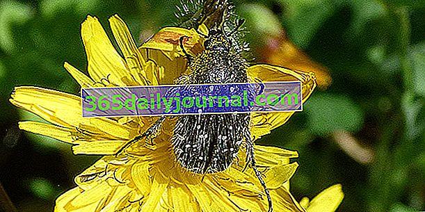 Szara cetonia, śmiertelnie czarny chrząszcz