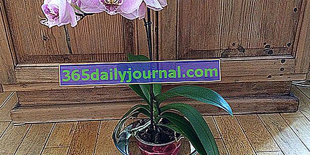 ¿Cómo regar correctamente las orquídeas?