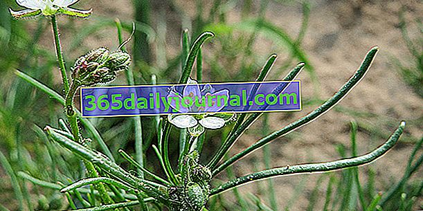 Spergula polna (Spergula arvensis), obornik zielony