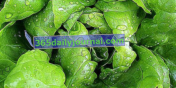 Kako dobro zalijevati salate?