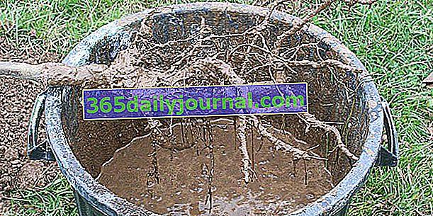 Jak posadzić drzewo z nagim korzeniem?