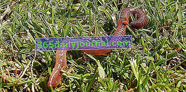 Znaczenie dżdżownicy dla gleby ogrodowej