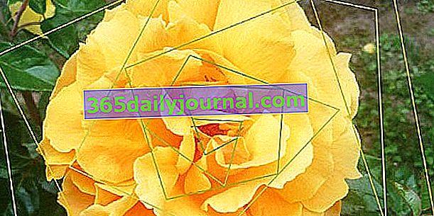 Rose en fête 2019 en Veules les roses (76)