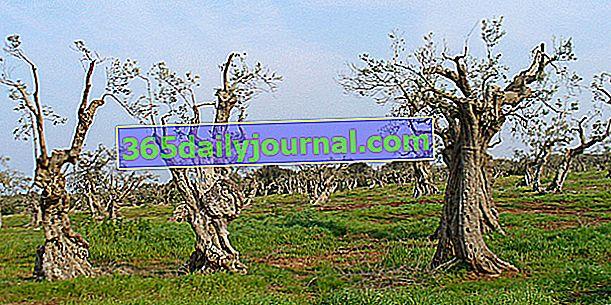 Xylella fastidiosa, bacteria asesina del olivo