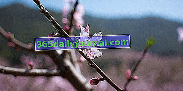 Przycinanie brzoskwini lub nektarynki: kiedy i jak?