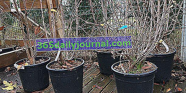 Выбирать кусты в комьях, контейнерах или с голыми корнями?