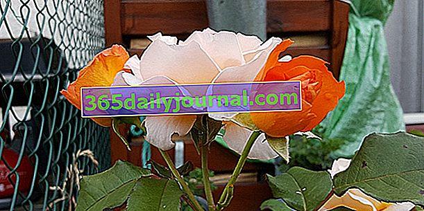 Защо два цвята рози на един и същ розов храст?