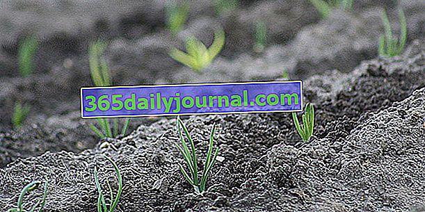 Plantar chalotes: ¿cuándo y cómo?