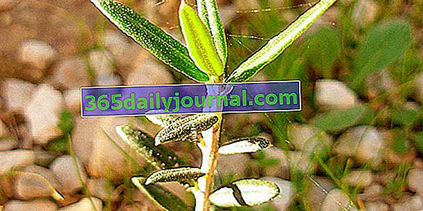 Изрязване на маслиново дърво: кога и как?