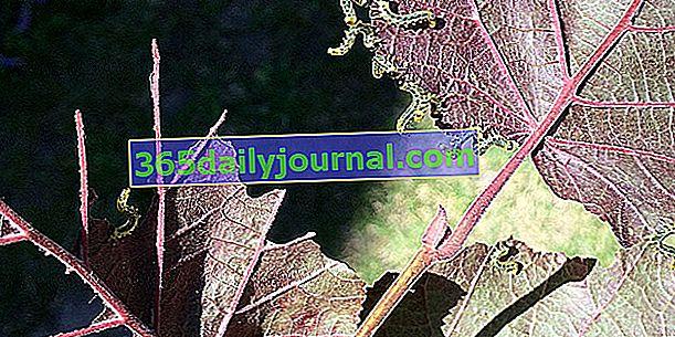 Pequeñas orugas verdes que se comen las hojas: ¿que tratamiento?