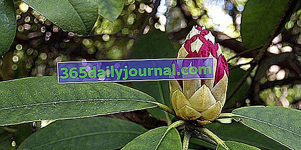 Tamaño del rododendro: ¿cuándo y cómo?