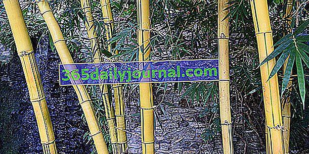 Poda de bambú: ¿cuándo y cómo?